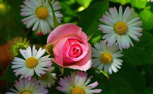 Обои Розовая роза и садовые ромашки