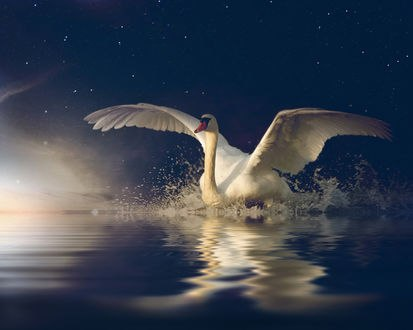 Обои Белый лебедь на воде, by Nataliorion