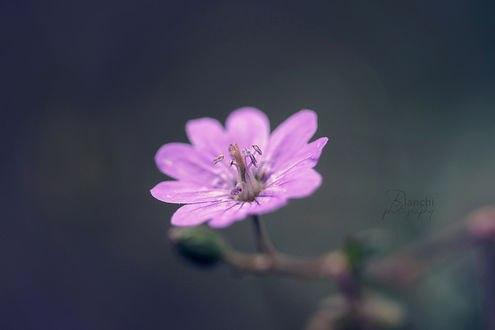 Обои для рабочего стола Маленький розовый цветок, автор Blanchii (© Amaryllis),Добавлено: 12.02.2017 07:59:37