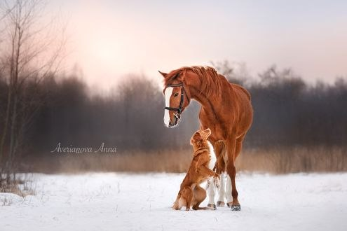 Обои Собака и лошадь на снегу, фотограф Анна Аверьянова