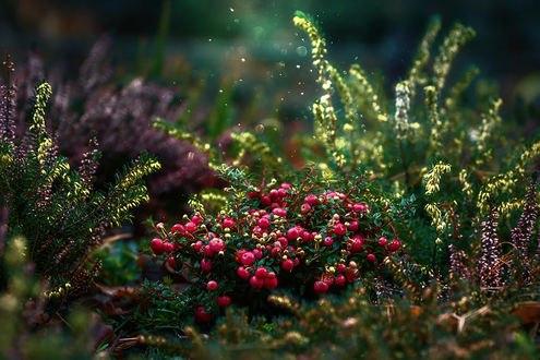 Обои Ягоды в траве, фотограф GaL-Lina