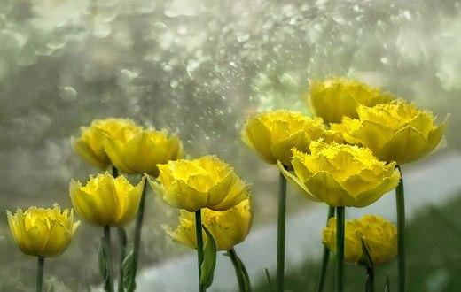 Обои Желтые тюльпаны, фотограф GaL-Lina