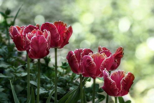 Обои Розовые тюльпаны, фотограф GaL-Lina