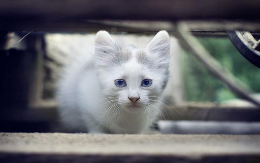 Обои Белый кот крупным планом