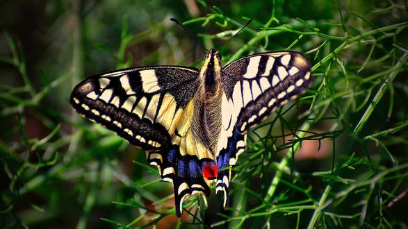 Обои Бабочка семейства булавоусые