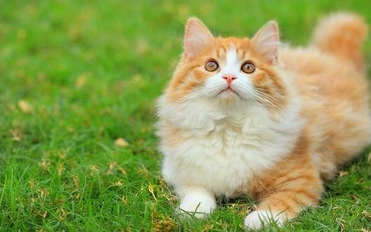 Обои Бело-рыжий кот лежащий на траве