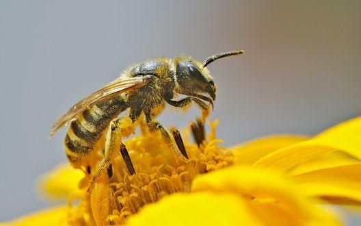Обои Пчела на цветке