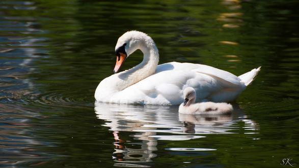 Обои Два лебедя в озере