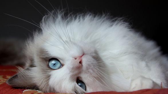 Обои Бело-серый кот лежит