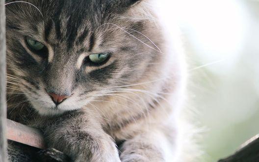 Обои Серый кот с уставшим взглядом