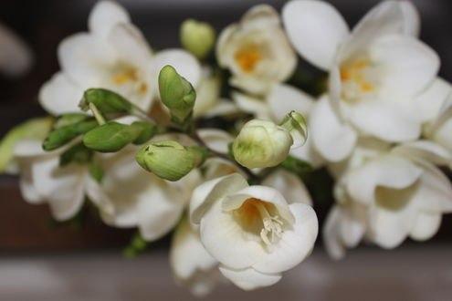 Обои Цветы белой фрезии, фотограф OFK2011