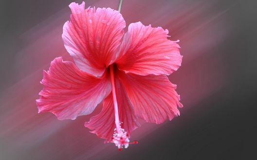 Обои для рабочего стола Розовый цветок гибискуса на размытом фоне (© Arinka jini),Добавлено: 14.02.2017 03:13:01