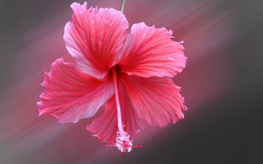 Обои Розовый цветок гибискуса на размытом фоне