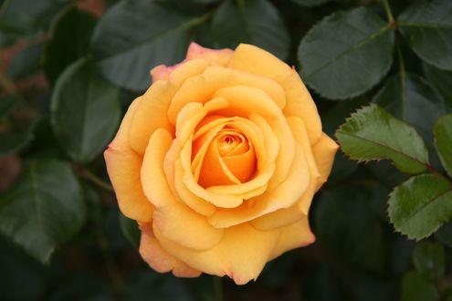 Обои Роза с капельками росы