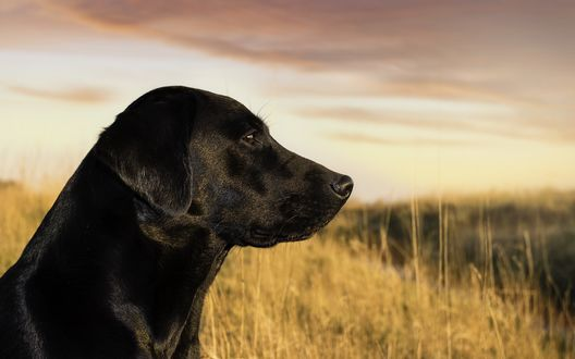 Обои Черная собака в поле