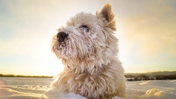 Обои Белый пес в снегу, фотограф Somebody Anywhere