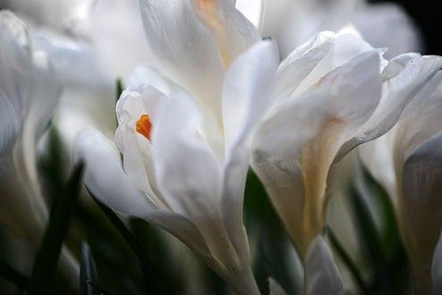 Обои Белые крокусы крупным планом, фотограф Неля Рачкова