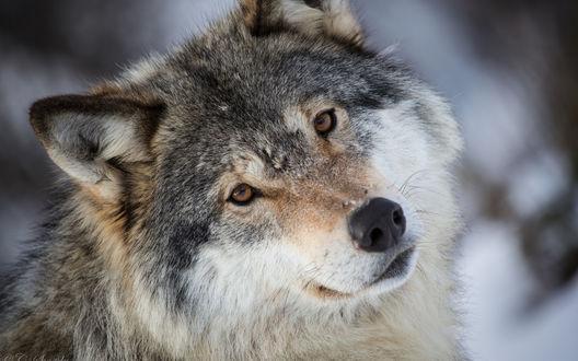 Обои Волк крупным планом