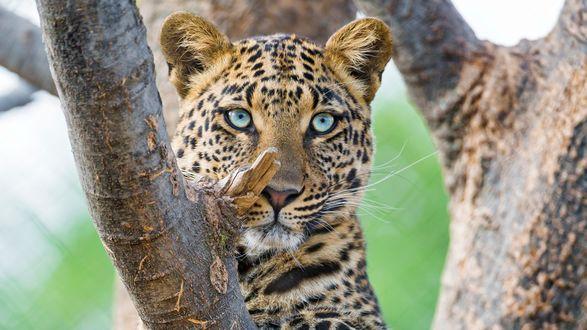 Обои Леопард на дереве