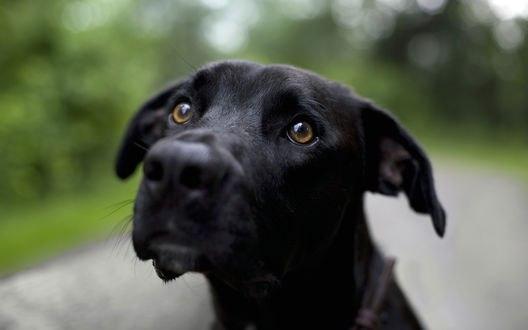 Обои Черный собака смотрящая в объектив