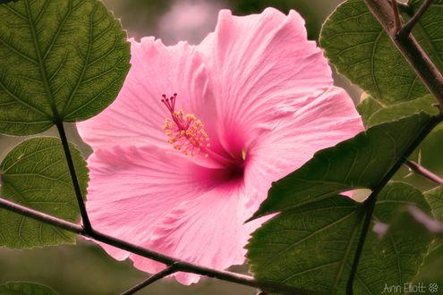 Обои Цветок розового гибискуса, фотограф Ann Elliott