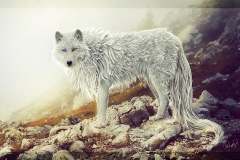 Обои Белый волк с длинным хвостом и разноцветными глазами, с цепью на шее, повернув голову смотрит вперед, стоя на камнях в горах, by Amphispiza