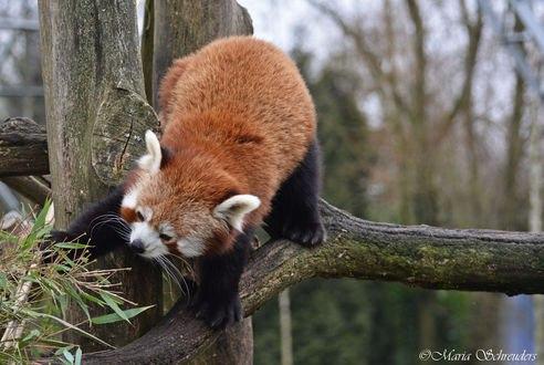 Обои Панда на дереве, by Maria-Schreuders