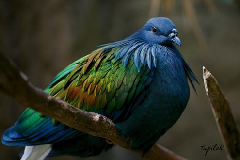 Обои Гривистый голубь, by tupilak