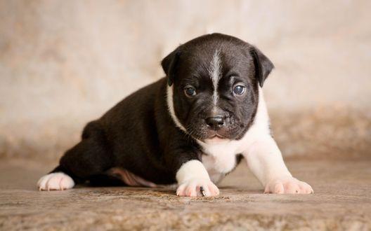 Обои Милый щенок породы стаффордширский бультерьер