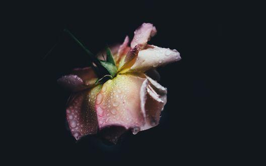 Обои Роза в капельках воды на темном фоне