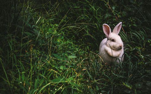 Обои Белый кролик сидит в траве