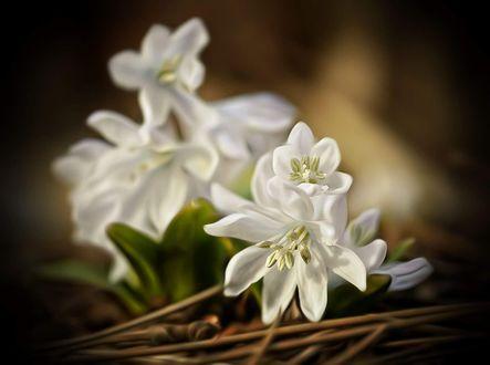 Обои Белые весенние цветы, фотограф Elvira Kühl