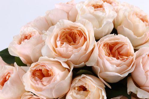 Обои Нежные кремовые розы