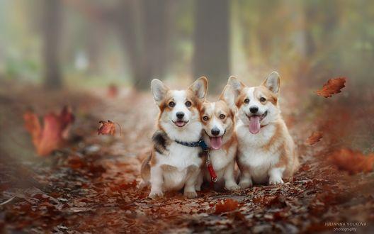 Обои Три собаки породы вельш-корги сидят на тропинке в окружении осенних листьев, фотограф Юлианна Волкова