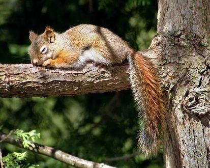 Обои Спящая белка лежит на ветке дерева и греется в лучах солнца
