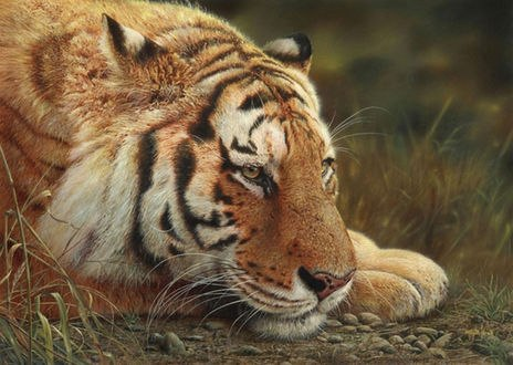 Обои Отдыхающий тигр положил голову на лапы, by Denis Mayer Jr