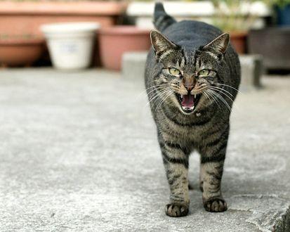 Обои Серый мяукающий кот