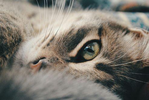 Обои Серый кот смотрит одним глазом на нас