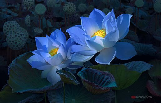 Обои Два голубых лотоса, фотограф Duong Quoc Dinh