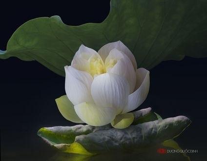 Обои Белый лотос с листьями, фотограф Duong Quoc Dinh
