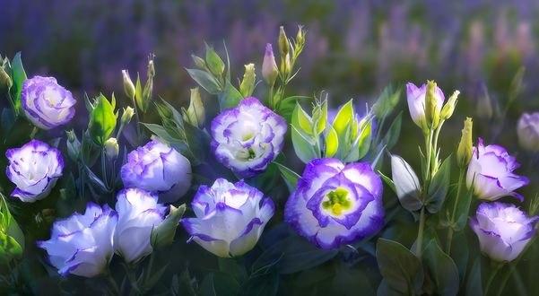 Обои Голубые цветы, фотограф Duong Quoc Dinh