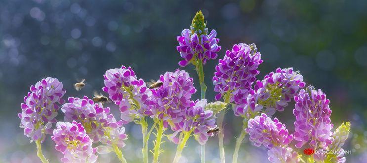 Обои Сиреневые цветы и пчела на них, фотограф Duong Quoc Dinh