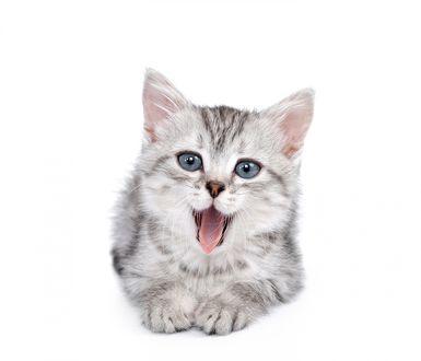 Обои Маленький котенок зевает