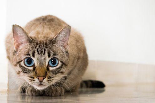 Обои Голубоглазый кот смотрит в камеру
