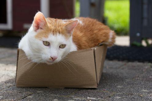 Обои Бело-рыжий кот в коробке