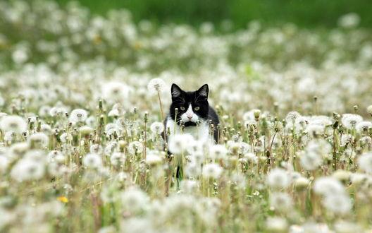 Обои Бело-черный кот в поле одуванчиков