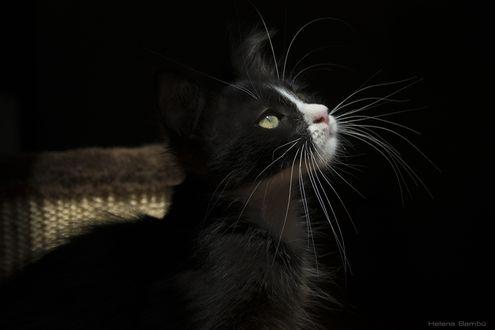 Обои Черно-белый котенок, by Helena Bambu