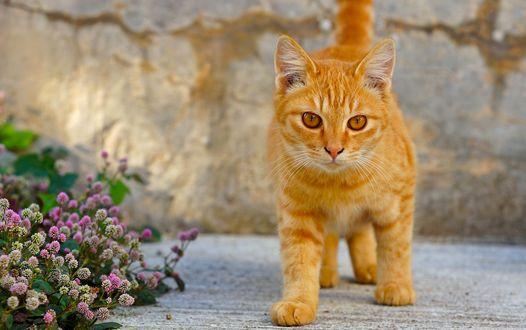 Обои Рыжий кот около цветов