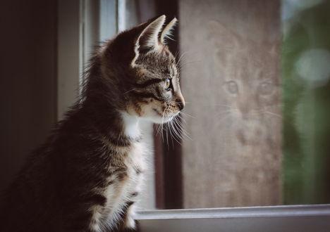 Обои Котенок смотрит в окно
