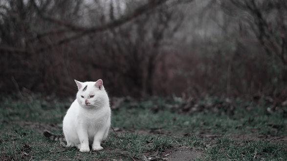 Обои Белый кот на природе
